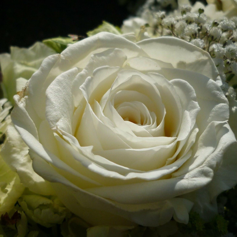 rose-273799_1920
